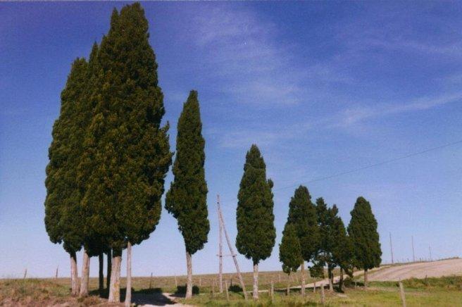 Cypress tress enroute to Montalcino